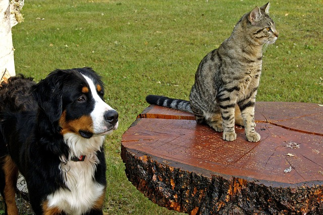 bernese-mountain-dog-111878_640